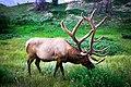 A Beautiful Elk.jpg