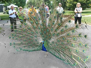 Grounds For Sculpture - One of the many resident peacocks shows off for guests