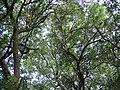 A Live Oak Tree.jpg