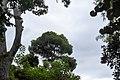 A Tall Pinus (197111359).jpeg