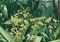 A and B Larsen orchids - Oncidium macronix 872-19.jpg