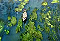 A boy is gliding boat through algae covered river.jpg