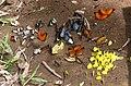 A butterfly club (24512198015).jpg