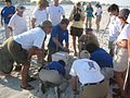 A crowd of trained sea turtle volunteers watching.jpg