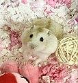 A dwarf hamster with white fur.jpg