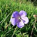 A flower at the Roman amphitheatre, Cirencester - geograph.org.uk - 1931242.jpg