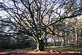 A giant Beech tree at Deelerwoud, but attacked by several fungi, so how long he will survive^ At the right side you can see several huge Fomes fomentarius (Tinder fungus or Ice man fungus, D= Zunderschwamm, F= Amadouvi - panoramio.jpg