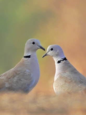Eurasian collared dove - A pair of a collared doves from Mangaon, Maharashtra, India