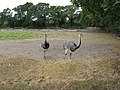 A pair of Rheas - geograph.org.uk - 1525940.jpg