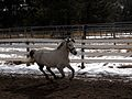 A pony in the suspension stage of the canter (02-24-10 005).jpg