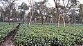 A tea estate in North Lakhimpur.jpg