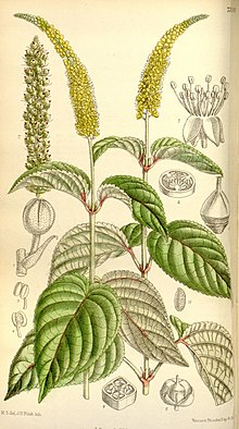 "illustration of ""Abatia angeliana"""