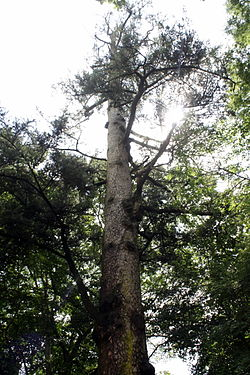 Abies holophylla 1.JPG