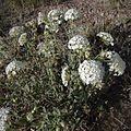Abronia fragrans habitus1.jpg