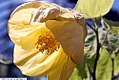 Abutilon Canary Bird 1zz.jpg