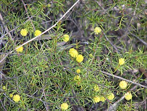 Description de l'image Acacia brownii.jpg.