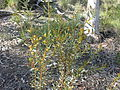 Acacia buxifolia (5103650114).jpg