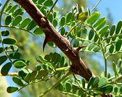 Acacia greggii thorns.jpg
