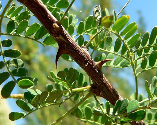 Acacia greggii thorns