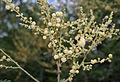 Acacia leucophloea flowering in Vanasthalipuram, Hyderabad, AP W2 IMG 9224.jpg