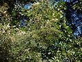 Acacia mearnsii (6363622297).jpg