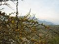 Acaciacaven29.jpg