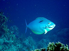 Description de l'image Acanthurus mata.jpg.