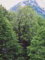 Acer heldreichii ssp visianii Strekanica old growth forest subadriatic Orjen subset.jpg