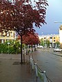 Acer japonicum - panoramio.jpg