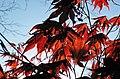 Acer palmatum (Japanese maple tree) (Newark, Ohio, USA) 2 (17332097526).jpg