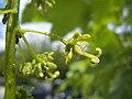 Acer pseudoplatanus M 1.jpg