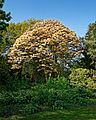 Acer psuedoplantanus 'Brilliantissimum' at Myddelton House, Enfield, London 01.jpg
