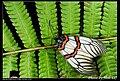Achelura sanguifasciata (5125699127).jpg