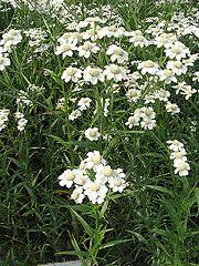 Achillea ptarmica 2.jpg