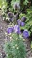 Aconitum variegatum L.-1F.jpg