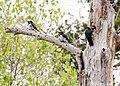 Acorn Woodpecker and offspring (51178636280).jpg
