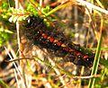 Acronicta menyanthidis larva.jpg