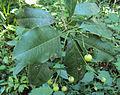 Acronychia pedunculata 02.JPG