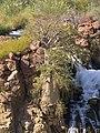 Adansonia digitata (Epupa Falls).jpg