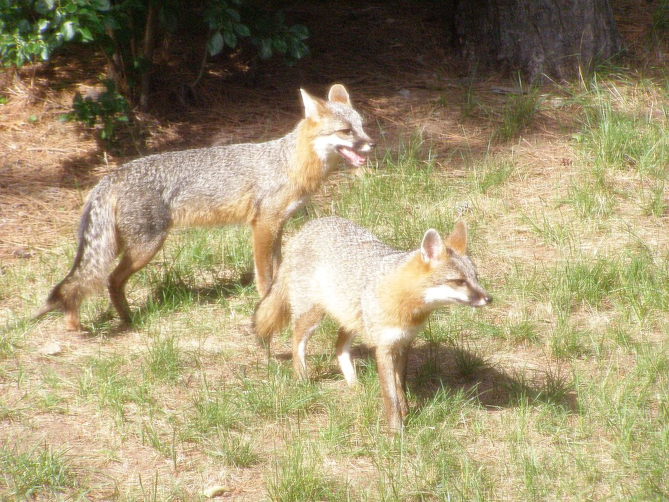 Adult Male & Female Grey Fox