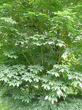 Aesculus flava 04 by Line1.jpg