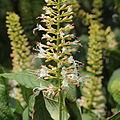 Aesculus parviflora-IMG 5977.jpg