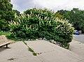 Aesculus parviflora blooming.jpg