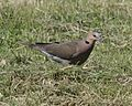African Mourning Dove (Streptopelia decipiens) - Flickr - Lip Kee.jpg