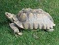 African Spurred Tortoise 001.jpg
