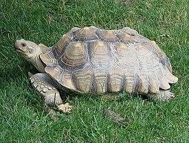Африканские шпорные черепахи