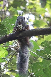 Forest giant squirrel Species of rodent