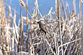 Agelaius phoeniceus f reeds.jpg