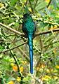 Aglaiocercus kingi (Silfo coliverde) (14331809404).jpg