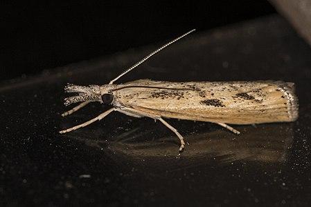 Agriphila inquinatella02(js), Lodz(Poland).jpg